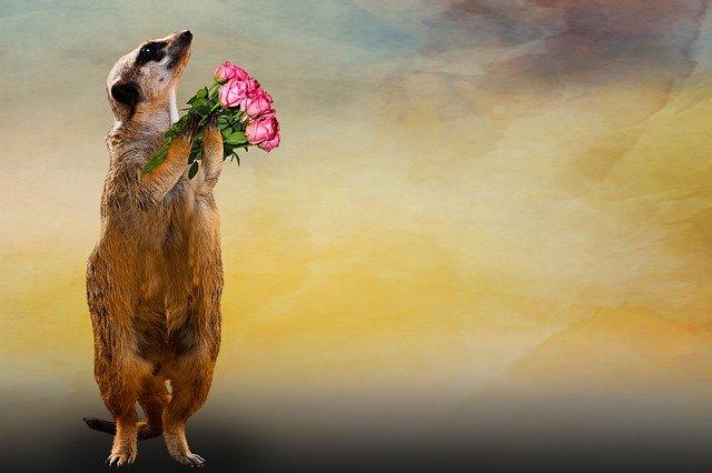 surikata a kytice