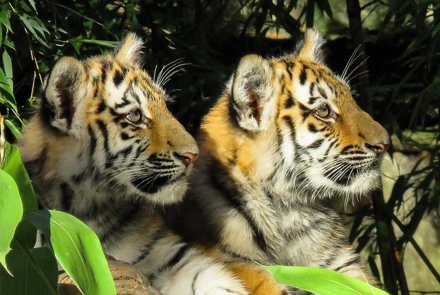 dvě tygřata